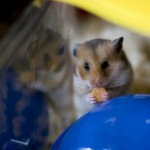 The new hamster, Acorn